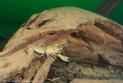 BD-081004-Hastholmen-041879-Pacifastacus-leniusculus-(Dana.-1852)-[Signal-crayfish.-Signalkräfta].jpg